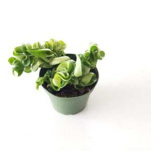 Indoor plants houseplants Interior plants air-purifying plants indoor plant sale Mississauga Toronto Etobicoke Oakville Brampton Burlington GTA Hoya Hindu Rope