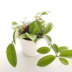 Indoor plants houseplant sale Interiorplants plant gifts Mississauga Toronto Etobicoke Brampton Burlington Hamilton Oakville Ontario Richmond Hill North York GTA Hoya in variety