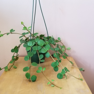 peperomia hope indoor plants houseplants interiorplants plant sale Mississauga Toronto Brampton Burlington Oakville North York GTA
