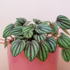 Peperomia peacock indoor plants houseplants office plants plant sale Mississauga Toronto Brampton Burlington Oakville GTA