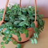 Peperomia prostrata String of Turtles indoor plants houseplants plant sale Mississauga Toronto GTA