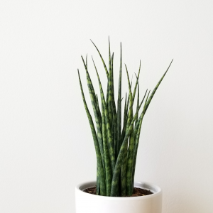sansevieria fernwood mikado snake plant Christmasgifts indoor plants air-purifying houseplants plant sale Toronto Mississauga Etobicoke Brampton Burlington Oakville GTA