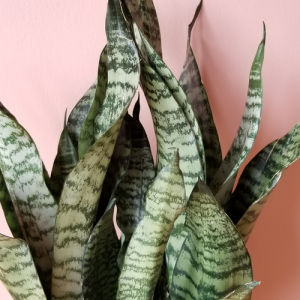 sansevieria superba robusta snake plant indoor plants houseplants office plants plant sale Mississauga Toronto Brampton Burlington Oakville GTA