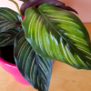 Calathea beauty star indoor plants houseplants plant sale Mississauga Toronto Oakville Burlington Brampton GTA