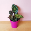 calathea roseo picta in pink decorative ceramic container indoor plants houseplants interior plants plant sale Mississauga Toronto Brampton Burlington Oakville GTA