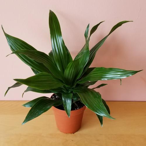 dracaena green jewel indoor plants houseplants office plants interiorplants plant sale Mississauga Toronto Brampton Burlington Oakville GTA