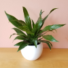 dracaena green jewel indoor plants houseplants office plants interiorplants plant sale Mississauga Toronto Brampton Burlington Oakville GTA
