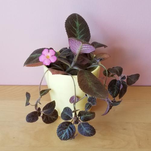episcia 'pink panther' indoor plants houseplants office plants interiorplants plant sale Mississauga Toronto Burlington Brampton Oakville GTA