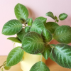 episcia 'selby's best' indoor plants houseplants office plants interiorplants plant sale Mississauga Toronto Burlington Brampton Oakville GTA