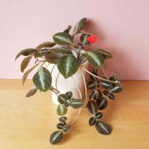 episcia chocolate soldier flowering indoor plants houseplants plant sale Toronto Brampton Burlington Oakville Etobicoke Mississauga GTA