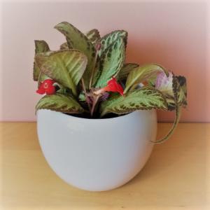 episcia silver sheen indoor plants houseplants flowering plants indoors plant sale Mississauga Toronto Brampton Burlington Oakville GTA