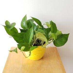 Indoor plants houseplants green plants for indoors interiorplants Plant shop GTA Mississauga Toronto Etobicoke Brampton Burlington Oakville Hamilton Grimsby Pothos Jade