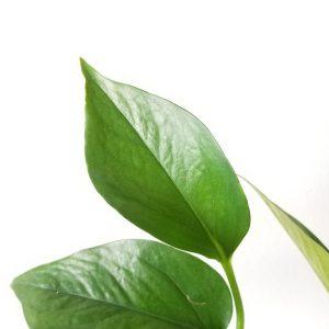 Indoor plants houseplants Interior plants air-purifying plants indoor plant sale Mississauga Toronto Etobicoke Oakville Brampton Burlington GTA Pothos Jade green leaves