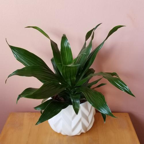 Sorrento 5 inch white ceramic decorative container for indoor plants houseplants plant container sale Mississauga Toronto Burlington Brampton Oakville GTA