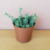 Burro's Tail Donkey's Tail Sedum morganianum succulents for sale indoor plants houseplants Mississauga Toronto Burlington Brampton Oakville GTA