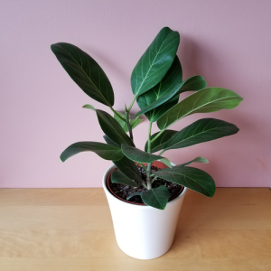 ficus audrey ficus benghalensis indoor plants office plants houseplants plant sale Mississauga Toronto Brampton Richmond Hill Burlington GTA