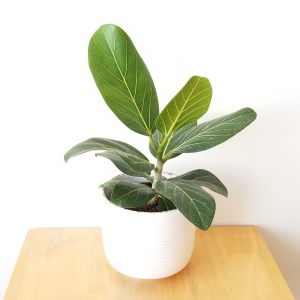 Ficus benghalensis Audrey indoor plants houseplants interior plants plant sale Toronto Etobicoke Mississauga Brampton Burlington Oakville Hamilton North York GTA