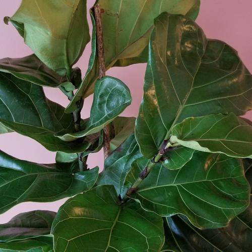 ficus lyrata fiddle-leaf fig indoor plants houseplants office plants plant sale Mississauga Toronto Brampton Burlington Oakville GTA