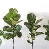 ficus lyrata fiddle-leaf fig indoor plants houseplants interiorplants office plants plant sale Mississauga Toronto Etobicoke Brampton Burlington Oakville GTA