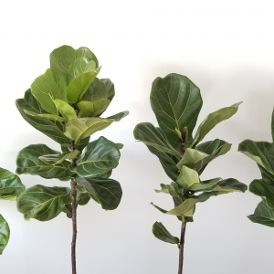 ficus lyrata fiddle-leaf fig indoor plants houseplants interiorplants office plants plant sale Mississauga Toronto Etobicoke Brampton Burlington Oakville GTA