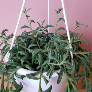 senecio peregrinus string of dolphins indoor plants succulents houseplants plant sale Mississauga Toronto Brampton Burlington Oakville GTA