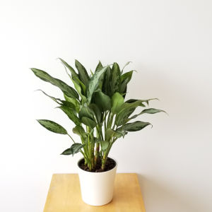 aglaonema 'Jubilee' Chinese evergreen indoor plants houseplants easy to grow plant sale Toronto Mississauga Oakville Burlington Brampton Hamilton St.Catherine Pickering Oshawa GTA