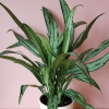 aglaonema cutlass Chinese evergreen indoor plants houseplants office plants plant sale Mississauga Toronto Brampton Oakville Burlington GTA