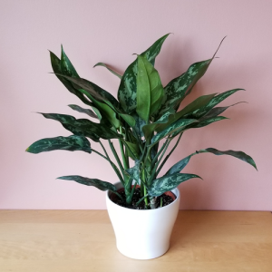 aglaonema Jubilee Chinese evergreen indoor plants houseplants office plants plant sale Mississauga Toronto Brampton Oakville Burlington GTA