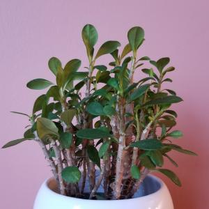 crown of thorns euphorbia milii houseplants indoor plants succulents plant sale Mississauga Toronto Brampton Burlington Oakville GTA