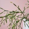 rhipsalis cactus indoor plants houseplants plant sale Mississauga Toronto Brampton Burlington Oakville GTA