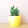cactus cerecus fairy castle 4 inch sun loving plants indoor plants houseplants plant sale Mississauga Toronto Burlington Oakville GTA