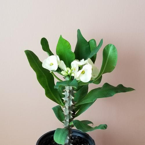 euphorbia crown of thorns thai hybrid large flowers indoor plant houseplants plant sale Mississauga Toronto Brampton Burlington Oakville GTA