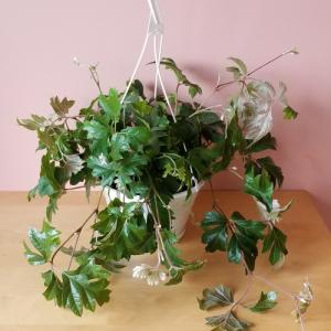 Oakleaf / Grape Ivy (Cissus rhombifolia) indoor plants houseplants office plants plant sale Mississauga Toronto Burlington Brampton Oakville GTA