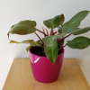 philodendron congo rojo red indoor plants houseplants plant sale Mississauga Toronto Burlington Brampton GTA