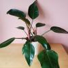 philodendron hybrid congo rojo red indoor plants office plants houseplants plant sale Mississauga plantshop Toronto Burlington Brampton Oakville GTA