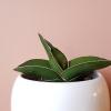 Sansevieria ehrenbergii (sansevieria samurai) indoor plants houseplants plant sale Mississauga Toronto Brampton Burlington Oakville GTA