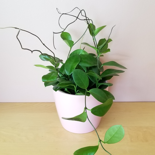 hoya australis indoor plants fragrant plants houseplants interiorplants plant sale Mississauga Toronto Brampton Burlington Oakville GTA