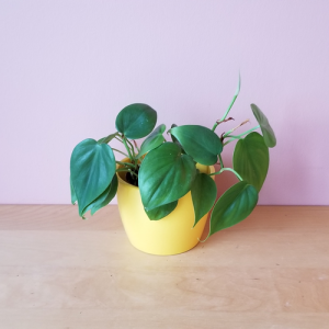 philodendron green heartleaf air-purifying indoor plants houseplants interior plants office plants plant sale Mississauga Toronto Etobicoke Brampton Burlington Oakville GTA