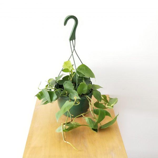 plant gifts air-purifying indoor plants sale Mississauga Toronto Brampton Oakville Etobicoke Burlington GTA Philodendron heartleaf green