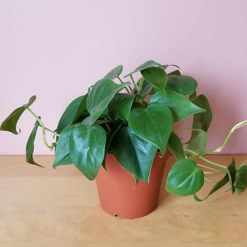 Philodendron green heartleaf (Velvet leaf philodendron) indoor plants interiorplants houseplants plant sale Mississauga Toronto Brampton Oakville Burlington GTA