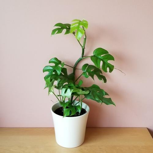 rhaphidophora tetrasperma indoor plants houseplants interiorplants plant sale Mississauga Toronto Brampton Burlington Oakville GTA
