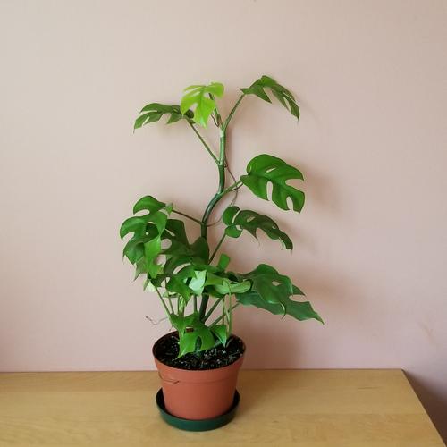 rhaphidophora tetrasperma 6 inch indoor plants green houseplants interiorplants plant sale Mississauga Toronto Burlington Brampton Oakville Ajax Hamilton GTA
