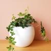sugar vine indoor plants houseplants interiorplants plant sale Mississauga Toronto Brampton Burlington Oakville GTA