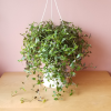bridal veil indoor plant houseplants interiorplants plant sale Mississauga Brampton Burlington Oakville GTA