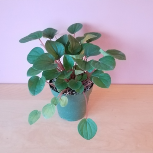 Peperomia Rana Verde indoor plants green houseplants interiorplants plant sale Mississauga Toronto Brampton Burlington Oakville GTA