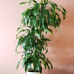 dracaena dragon dorado tree form green indoor plants office plants houseplants interiorplants cleaning indoor air plant sale Mississauga Toronto Brampton Oakville Burlington GTA