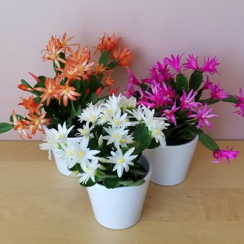 spring flowering Easter cacti indoor plants houseplants plant sale Mississauga Toronto Brampton Burlington Oakville Hamilton GTA