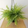 Boston fern indoor plants houseplants air-purifying plants interiorplants plant sale Toronto Etobicoke Mississauga Brampton Oakville Burlington GTA