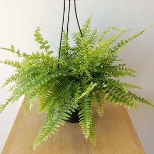 Boston fern indoor plants houseplants air-purifying plants interiorplants plant sale Toronto Etobicoke Mississauga Brampton Oakville Burlington GTA