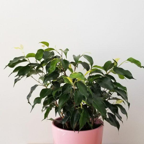 Indoor plants houseplant sale Interiorplants plant gifts Mississauga Toronto Etobicoke Brampton Burlington Hamilton Oakville Ontario Richmond Hill North York GTA Ficus Benjamina green air-purifying